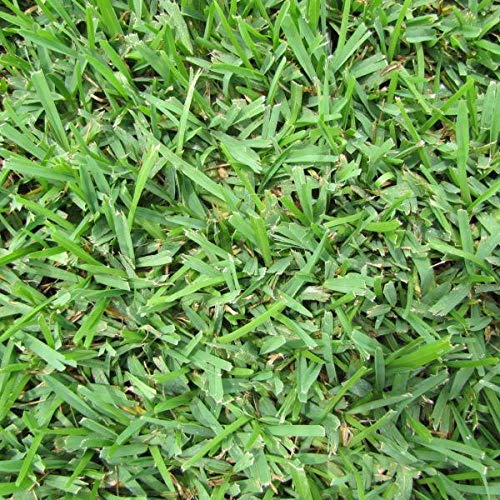 Seed Ranch St Augustine Palmetto Grass Plugs - 2 Trays
