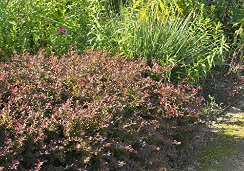 Berberis thunbergii 'Atropurpurea' Rote Heckenberberitze im Topf gewachsen ca. 60-80cm