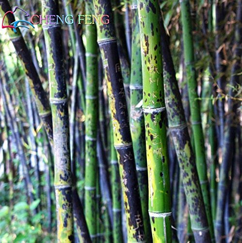 A Paquet 50 Pièces Graines frais géant Moso bambou pour jardin des plantes de bricolage