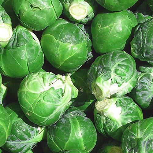 Rosenkohl 'Noisette' (Brassica oleracea) 200 Samen Sprossenkohl Brüsseler Kohl Kohlsprossen