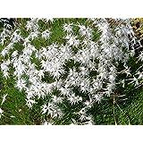 サンズカーネーション(Arenarius)砂ピンクSemillaの種子20種