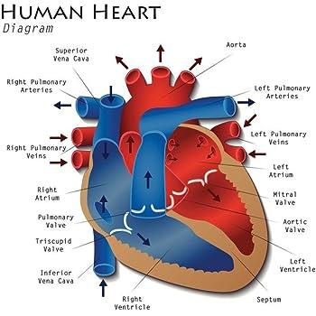 Amazon.com: Male Reproductive System Human Anatomy Chart ...