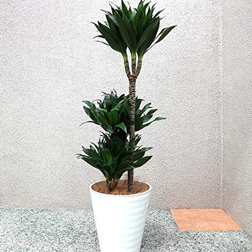 ドラセナ コンパクター 観葉植物 中型 8号プラスチック鉢(鉢底からの高さ:約95cm/葉張り:約30cm)【品種で選べる観葉植物・リビングやオフィス向きサイズ/1個】学名:Dracaena deremensis 'Compacta' キジカクシ科ドラセナ属 原生地:熱帯アフリカ 初心者にも育てやすい観葉植物!ドラセナ属の常緑小低木の矮性種です。葉は深緑色で披針形、茎に密集輪生します。樹高が低く、日陰でも育ち、場所を取らないので、テーブルや机上等でも置くことが出来るコンパクトな観葉植物で、葉が取れた後の幹のてっぺんに密集してダークカラーの葉がつく草姿はインテリア性が高く、手間いらずで管理が楽な品種!【造花ではありません。生きている観葉植物です。大型ですのでギフトラッピングには対応しておりません。※出荷タイミングにより、鉢の形や鉢色が変わる場合があります。商品の特性上、背丈・形・大きさ等、植物には個体差がありますが、同規格のものを送らせて頂いております。また、植物ですので多少の枯れ込みやキズ等がある場合もございます。予めご了承下さい】