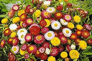 Best immortelle flower seeds Reviews