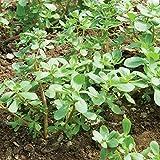 David's Garden Seeds Greens Leafy Purslane Red Gruner 7439 (Green) 500 Non-GMO, Open Pollinated Seeds