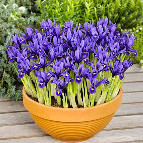 Woodland bulbs 50 x Iris Bulbs 'Reticulata' Dwarf Spring Flowering Iris Bulbs - Plant with Snowdrops (Free UK P&P)