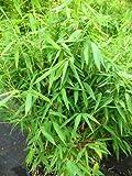 Bambus, Höhe: 60-100 cm