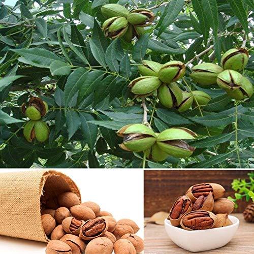 Carya Illinoensis Koch Samen, KimcHisxXv 5 St¨¹cke Samen Pekannussbaum Garten Hof Subtropische Pflanze - Carya Illinoensis Koch Samen