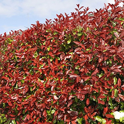 Red Robin Hedging Plants 20-40cm Photinia Christmas Berry Evergreen Hedge Potted (5 Plants)