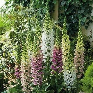 Digitalis (Foxglove) purpurea Candy Mountain Mix 500 seeds