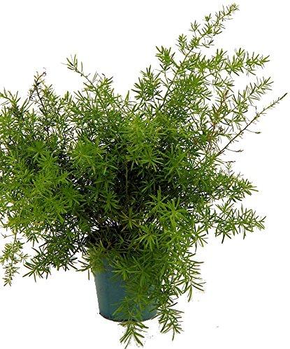 Asparagus Sprengerii Fern - Asparagus - 4' Pot - Easy to Grow - Great...