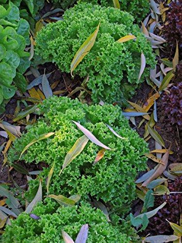 Endivien Salat 'Grüner Escariol' (Cichorium endivia) Bio 350 Samen Wintersalat