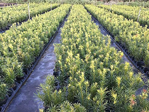 FERRY Bio-Saatgut Nicht nur Pflanzen: Podocarpus macrophyllus, Japanische Eibe - 100 Seeds Glon