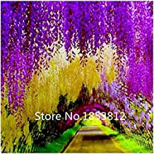 gai Sale!100piece 16 Colors wisteria seeds 2015 New Garden Flowers Four Season Sowing World Rare Flower Seeds For Garden