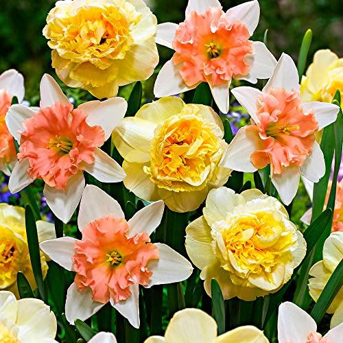 7x Narcissus Design | Narzissenzwiebeln | Gelb-rosafarbene Blüten | Frühblühende Zwiebeln | Mehrjährig blühende Pflanzen | Ø 12-14cm