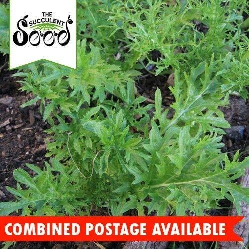 Portal Cool Senf - Wasabi (600 Seeds) Beliebte Microgreen Erbstück Groß