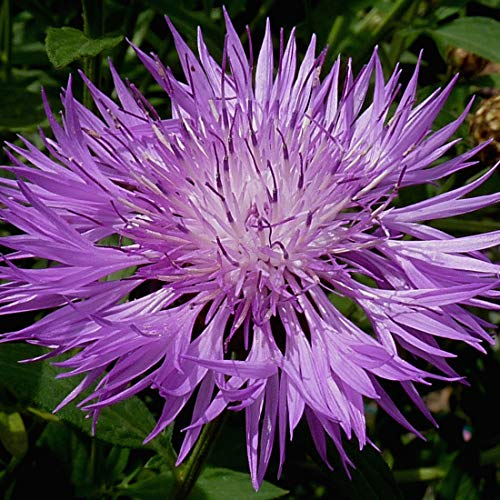 4 x Centaurea Dealbata - Roze korenbloem pot 9cm x 9cm