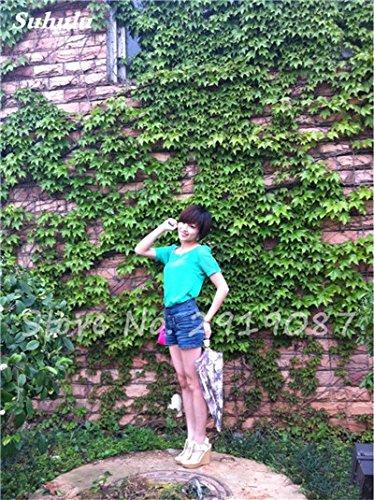 50 Pcs mixte Boston Seeds 100% vrai Parthenocissus tricuspidata semences de plantes en plein air QUASIMENT soins décoratifs Escalade de plantes 4