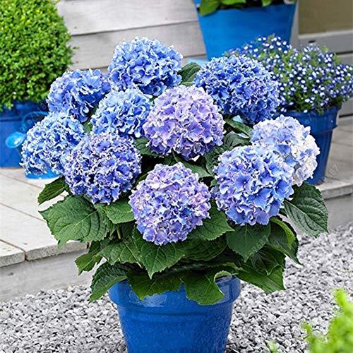 Yimosecoxiang Blumensamen Garten Dekor Pflanzen Samen 20 Pcs Hydrangea Samen Blume Pflanze Home Office Ornament Garten Topf Bonsai Dekor - blaue Hortensie Samen