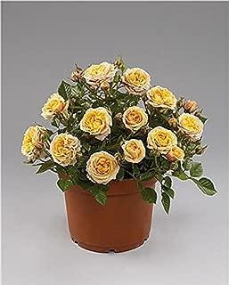 Parade Cara Miniature Rose Bush - Fragrant/Hardy - 4