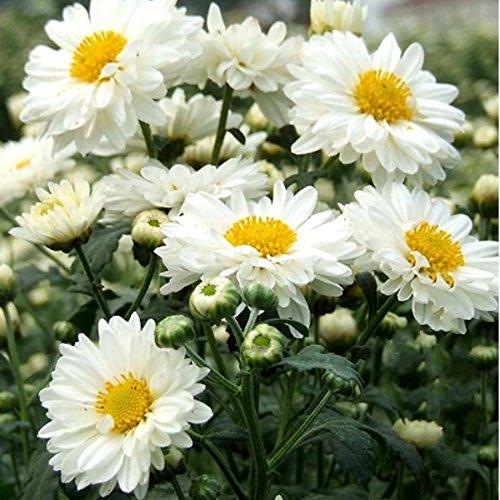 30seeds / sac bonsaï chrysanthème graines de fleurs de graines pour faire du thé