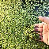 Semillas de Flores-100 Unids / bolsa Semillas de lenteja de agua Plantas flotantes de alta germinación Plantas de césped raras para acuario - Semillas