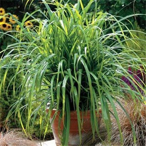 100 graines fraîches - Carex Fresh Look Graines graminée