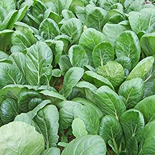 500 Seeds of Komatsuna, Japanese Mustard Spinach / Brassica rapa var. perviridis