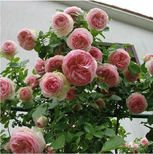 (Rose Escalade * Ambizu *) Rare Rose rosier grimpant plein * 200 graines petalled Wiht Emballage professionnel