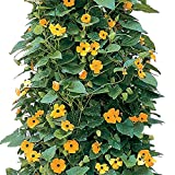 Park Seed Black-Eyed Susan Vine Seeds, Includes 25 Seeds in a Pack