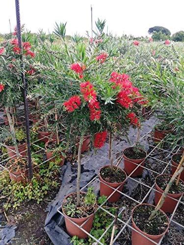 Karminroter Zylinderputze Stämmchen 120 cm - Callistemon Masotti - Kübelpflanze