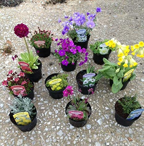 Alpine Perennial Mixed Collection Low Maintenance Plants with Bright Colours and Unique Flowers, 1 x Alpine Perennial Mixed Lucky Dip Containing 6 Plants in 9cm Pots