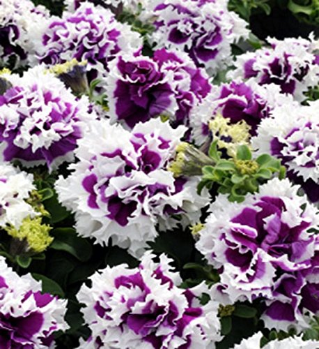 Petunie Pirouette Purple einjährig 25 cm stehend Samen