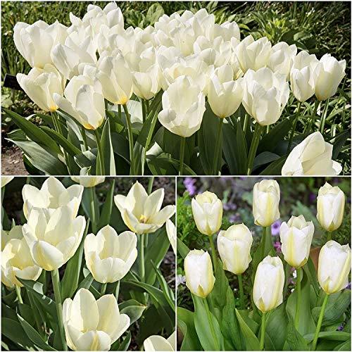 5 Pezzi Bulbi Di Tulipano Bulbi Da Fiore Piante Ornamentali Da Giardino Fiori Bianco Latte Adatto...