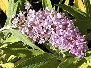 Best buddleia pink charm Reviews