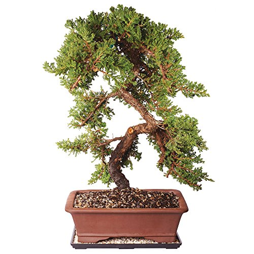Brussel's Live Green Mound Juniper Outdoor Bonsai Tree - 8 Years Old; 20' to 28' Tall with Decorative Container, Humidity Tray & Deco Rock - Not Sold in California