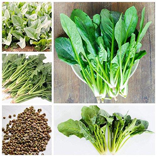 20 Pcs épinards graines vertes Légumes de semences biologiques feuilles de salade Bon Goût Non-OGM Bricolage jardin plante facile à cultiver