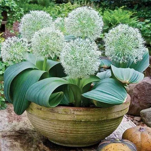 100pcs Rare géant Allium Giganteum Bonsai seeds.Blue Allium graines en pot de fleurs vivaces, finition des pelouses et l'aménagement paysager. Variétés 4