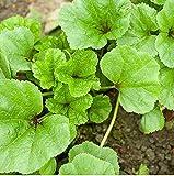 Semillas de malva china 2500+ Malva verticillata Vegetales orgánicos no modificados genéticamente Hierbas verdes para el jardín del hogar Jardín al aire libre Plantación agrícola
