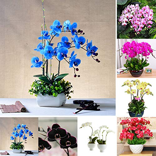 100 Stks Orchidee Zaden, Bloem Plant Thuis Office Ornament Tuin Venster Bonsai Decor Paars