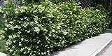 Ligustrum Japonicum 'Recurvifolium' - Curled Leaf Privet - 40 Live Plants - Evergreen Privacy Hedge