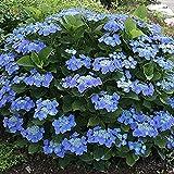 1 X Hydrangea MACROPHYLLA 'Teller Blue' DECIDUOUS Shrub Hardy Plant in Pot