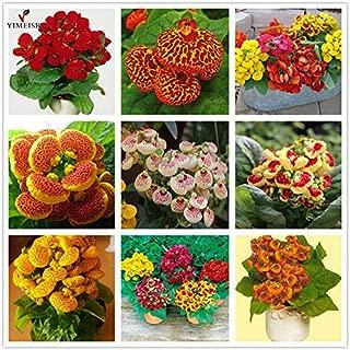 WANCHEN Calceolaria Seeds Slipper Flower Indoor Pocketbook Plant Bonsai Flower Seeds/Garden Herbeohybrida Fascination Mix Color50pcs/bag