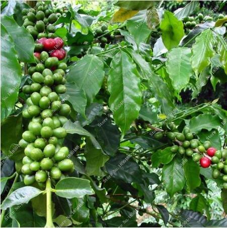 I nuovi 20 pc / sacchetto fresco dei chicchi di caffè del seme di produzione propria Chicco di cacao piantare i semi originali in vendita