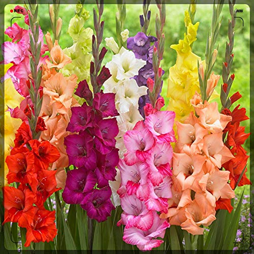 Patio/Cut Flowers/Greening Flower/an Old Fashioned Flower/Gladiolus Bulbs-8 Bulbs