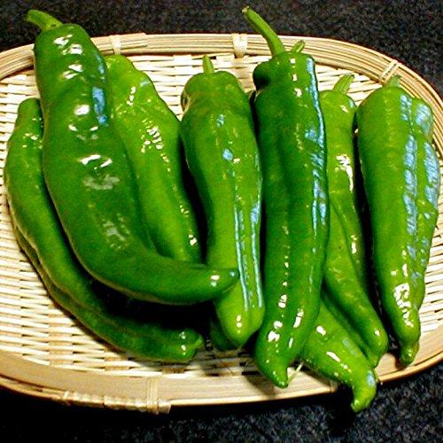 京都産  京野菜 万願寺とうがらし 約1kg