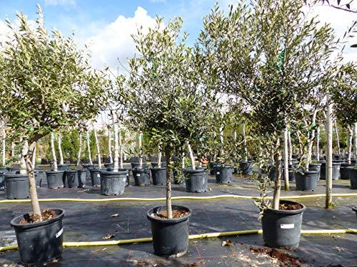 SONDERPREIS: Olivenbaum Olive 140-170...