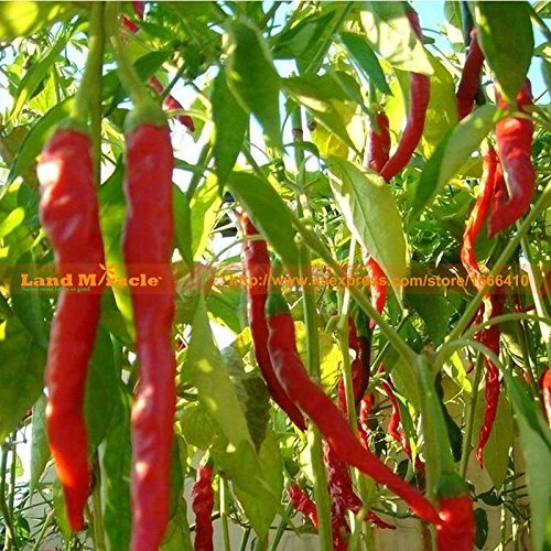 Paquet de 5 Original, 35 graines / paquet, 175 au total Graines Cayenne longues Graines Red Hot Pepper longues Hot Chili Seeds Terrain Miracle LMP003