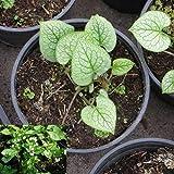 Blumixx Stauden Brunnera macrophylla 'Mr.Morse' ® - Kaukasus-Vergißmeinnicht im 1,0 Liter Topf weiß blühend