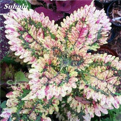 Janpanse Bonsai coleus Graines 50 Pcs Plantes feuillage couleur parfait arc Graines Belle Mixed Flower Garden plante Sement 18